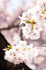 _MG_2818_Japan_20170323-20170419 (LuxTonnerre) Tags: 2017 flickr japan日本 luxtonnerre sakura spring tokyo東京 vacation yamanashiprefecture travel 山梨県
