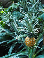 Tiny Pineapple (jennofarc) Tags: edmonton alberta canada muttartconservatory plant botanical garden nature greenhouse flower macro mirrorless 43