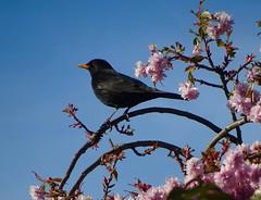 Blossom Blackbird (Pufalump) Tags: blackbird blossom tree nature yellow pink blue sky flowers petals