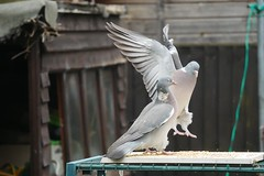 21 April 2017 (34) (AJ Yakstrangler) Tags: yakstrangler pigeon pigeons