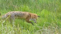 Hunting Fox (CJT29) Tags: vulpesvulpes redfox mammal carnivore hampshire cjt29 coast hillhead titchfieldhaven