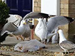Rubbish Collection Day in Weston-super-Mare! (Donna JW) Tags: picmonkey rubbishcollectionday gulls herringgulls lesserblackbackedgulls juveniles
