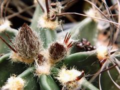 Astrophytum (Skolnik Collection) Tags: succulent cactus mexico skolnik collection propagation fitotron fytotron macro photo digital camera benq selected hybrid multi flower detail nature close nursery winter hardy sempervivum sedum