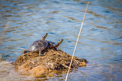 IMG_7567-1-4 (Pascal Guay) Tags: turtles tortoise animal lake pond rock two animals reptiles water head shell waves pascalnetnet pascal guay painted