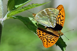 A mating pair of Silver-washed Fritillaries. (Argynnis paphia).