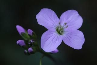 Cardamine pratensis - Pinksterbloemen