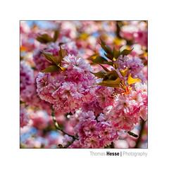 color the world (Der Zeit die Augenblicke stehlen) Tags: badsoodenallendorf baumblüten blätter blüten bäume color deutschland eos700d farbe frühling hth56 hessen makro pflanzen rot spring thomashesse red rosa weiss