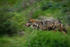 Carrera (Lagier01) Tags: naturaleza fauna lobo mamiferos mundopark nature animales