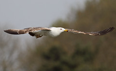 A87A3805 Yellow legged gull (3rd yr) (steve.ray50) Tags: 2017 restharrow