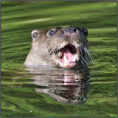 Wild Otter (image 1 of 3) (Full Moon Images) Tags: wildlife nature river wild otter eating fish animal mammal