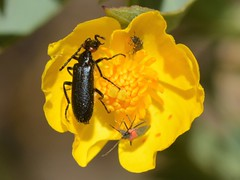 Trio of insects in Bush Poppy flower (Treebeard) Tags: redearedblisterbeetle lyttaauriculata meloidae tenebrionoidea polyphaga coleoptera bushpoppy dendromeconrigida papaveraceae eastcaminocielo santaynezmountains santabarbaracounty california