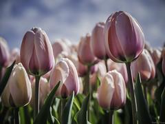 P4230165 (Finalfoto.nl) Tags: tulpen bollen tulps kleuren tulp tulips rood geel groen bloemen bloem