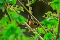 Chaffinch (Fringilla coelebs) #2 (Mark Photography 2017) Tags: angle animal animalia asteraceae background bird birding birdwatching blurred bokeh branch bud chaffinch close closeup coelebs common composition cuspidata detail effect environmental exterior feather finches fleabane flower focus format frame framing freeze fringilla front genre green hobbies horizontal interests landscape leaf level life light motion natural nature nothocalais officinale orientation outdoor passeriformes photo plant prairie profile setting style taraxacum tree up vegetation view wild wildlife worldartscraftsphotographysettingexterioroutdoorphotogenrestyletypewildlifenatureorientationlandscapemotionfreezeframelightingnaturallightframingcompositionenvironmentaldetailcloseupcloseupformatleaftreebranchgreenflowerb