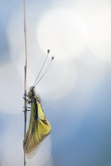 Céleste (donlope1) Tags: nature insect outdoors sky wildlife closeup animal wing light beautiful ascalaphe libellule dragonfly macro bokeh macrodreams