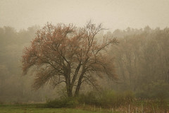 ~Foggy Day~ (cheryl c.) Tags: foggyday tree spring quote thomasmerton myview amomentintime throughherlens explored 290