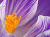 Wiosna Frühling Spring 2017 (arjuna_zbycho) Tags: wiosna frühling spring badenbeiwien blume flower kwiat natur blumen nature makrofoto krokus szafran croci crocus zafferano