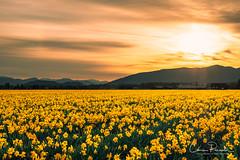 Daffodils at Sunrise (Chris Parmeter Photography) Tags: daffodil flower plant landscape yellow field skagit valley washington clouds light sun fuji xt2 18135mm sky