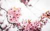 Sakura (Viv Lynch) Tags: canada ontario toronto scarborough spring 2017 weather bluffs cliffcrest plants blooms flowers botany blossom springtime aprilshowers mayflowers