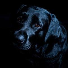 molly (James Jacques) Tags: sony a7 50mm 18 black lab dog pet brown eyes beauty lovely 6x6