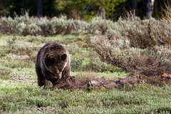 Grizzly Bear Searching for Insects (Free Roaming Photography) Tags: food usa west wet animal fur mammal nationalpark search log wildlife insects western northamerica wyoming blondie predator grandteton claws jacksonhole hunt searching grizzlybear grandtetonnationalpark