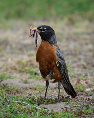 The Early Bird? (MissTessmacher) Tags: bird robin animal nikon worm teleconverter 2x d90 primehooknationalwildliferefuge 70200f28vrii tc20eiii