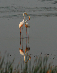 Flamingo Love (sharmaneeraj) Tags: red color love water beautiful kiss long legs flamingo marsh chennai waders beaks pallikarnai