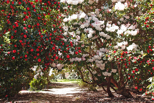 Rhododendrons and Camelias - Sheffield Park : May 2013