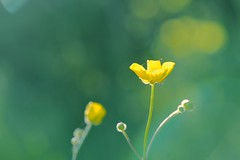 Yellow (Meinrad Périsset) Tags: nature fleurs schweiz switzerland nikon suisse swizzera districtdelaglâne nikkor105mmf28gvrmicro nikond800 vuarmarens