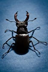 Stag Beetle (DMontalbano) Tags: camera plant flower macro closeup bug garden insect buzz photography photo nikon shot zoom beetle micro beatle beatles beetles d7000 nikond7000 danmontalbanophotography danmontalbano