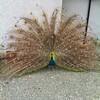 Peacock Loch Fyne