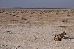 Sidestriped Jackal, Etosha National Park, Kunene, Namibia. (Marie-Laure Even) Tags: voyage africa park trip travel family famille autumn wild nature animal june automne juin jackal african au roadtrip southern national animaux namibia parc commonwealth etosha africain afrique namibian sauvage southernafrica namibie afric kunene sidestripedjackal sadc australe 2013 namibi etoshanationalpark sidestriped afriqueaustrale namibienne commonwealthofnations namibien republicofnamibia marielaureeven rpubliquedenamibie