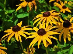 Yellow flowers, look like sunflowers (JSimpson19) Tags: summer usa brown flower yellow garden texas bright yellowflower sunflower fortworth botanicgardens fortworthbotanicgardens