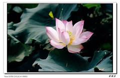 Lotus (Silvia ) Tags: 70200 rvp100