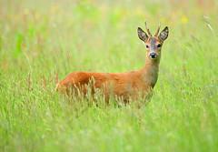 Young Buck (Alan MacKenzie) Tags: summer england sussex wildlife meadows deer roedeer youngroedeer roedeerbuck