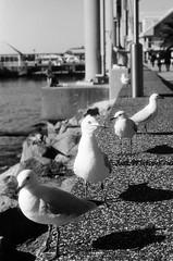 Newcastle, NSW, Aus . July 2013 (adrianhermanu) Tags: vacation bw white black film newcastle 50mm minolta lucky nsw analogue aus