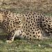 Cheetah 01-07-08 18