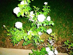 cascading white wrapped in green (Iqbal Osman1) Tags: life roses green serenity bunch whte bliss soothing nightstills