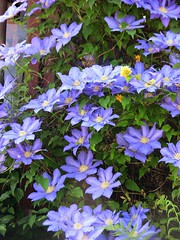 Clematis , 68-69/2564 (roba66) Tags: blue plants flores flower color colour fleur closeup flora blossom flor pflanzen clematis blumen blau blume farbe bloem blten flori petunien roba66