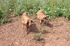 West Town Organic Farm (Soil Association) Tags: vegetables farm pigs fields growing organic parasiticwasp organicfarming soilassociation