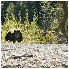 Grizzly bear (Free 2 Be) Tags: bear big bc britishcolumbia grizzly centralcoast heavy boar atnarko bellacoola 113 grizzlybear atnarkoriver afsdxvrzoomnikkor18200mmf3556gifedii 113picturesin2013 113in2013