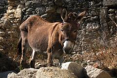 Donkey-2006_02 (Jan Thomas Landgren) Tags: travel vacation holiday nature animal animals natur hellas donkey greece mule djur konicaminolta grekland domesticanimal lappa sna konicaminoltadynax7d