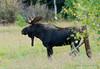 The Big Guy (Amy Hudechek Photography) Tags: autumn animal colorado moose bull rut maroonbells happyphotographer amyhudechek