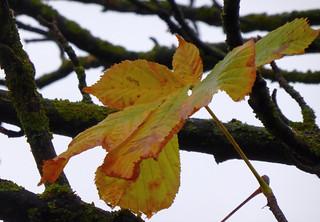 noch fest verbunden - aber eines der letzten Kastanien-blätter auf dem Baum