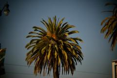 Palm Top (earthdog) Tags: sanfrancisco tree holga nikon palm palmtree 60mm 18 needstags hln toylens needstitle 2013 holgalens holga18 d5100 nikond5100