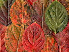 Leaves (DigiPub) Tags: texture leaf explore persimmon onsale fo gettyimages        459445245