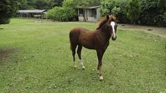 O lindo potrinho está trocando a pelagem juvenil pela de adulto. (Parchen) Tags: cavalo filhote égua potro cria mamando equuscaballus criado potrinho parchen carlosparchen cavalodoméstico