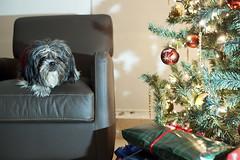 Xmas Huh? #Flickr12Days (FAVERO75) Tags: christmas family friends dog holiday tree photography francisco joy celebration presents festivity relaxation rodriguez avelar farimaging flickr12days