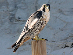 Peregrine Falcon, Nauset Outer Beach, 12/16/13 (petertrull) Tags: elements