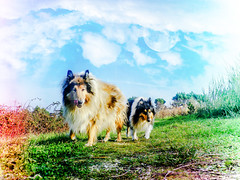 hunters (Hermio-Black) Tags: dog pet black dogs nature field cane collie candy sierra lassie hermione thelittledoglaughed hermio