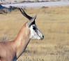 Etosha Namibia (liljekvistp) Tags: africa nature wildlife natur afrika namibia etosha springbok